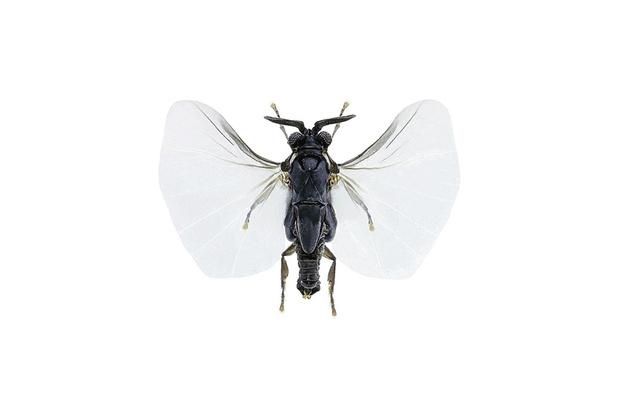 Beestenboel: de wrede voortplantingsstrategie van het waaiertje
