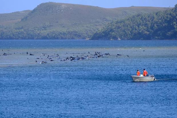 Honderden grienden gestrand op Tasmanië