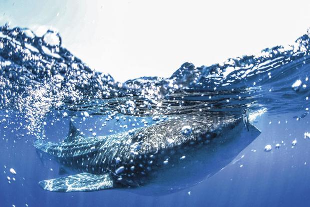 Taaie haai