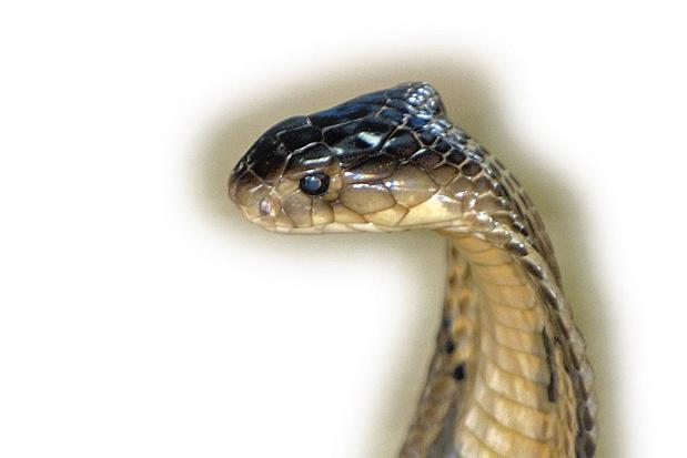 Un serpent ? Fuyez !