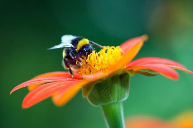 Brugge uitgeroepen tot bijenvriendelijkste gemeente 2020