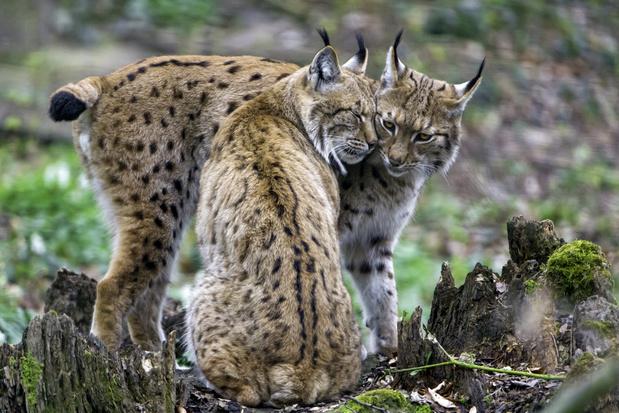 Na wolven keren mogelijk ook lynxen terug naar België
