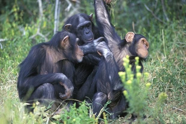Nieuwe populatie bedreigde oostelijke chimpansees ontdekt in Congo