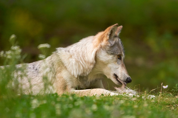 Wat eet een wolf?