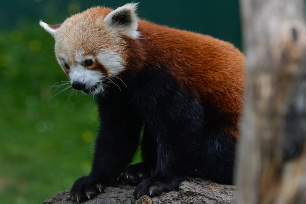 Dierentuin in Duisburg is een rode panda kwijt