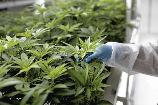 Des plants de cannabis pour contrer des moustiques ?