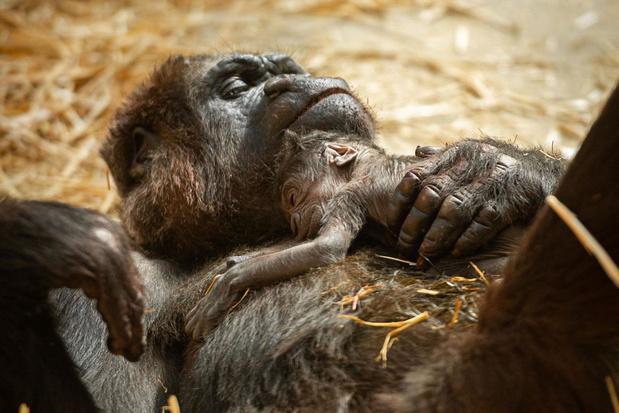 Kleuter Tandie erg nieuwsgierig naar pasgeboren gorillababy