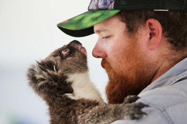 Uit de bosbranden geredde koala's teruggebracht naar de natuur