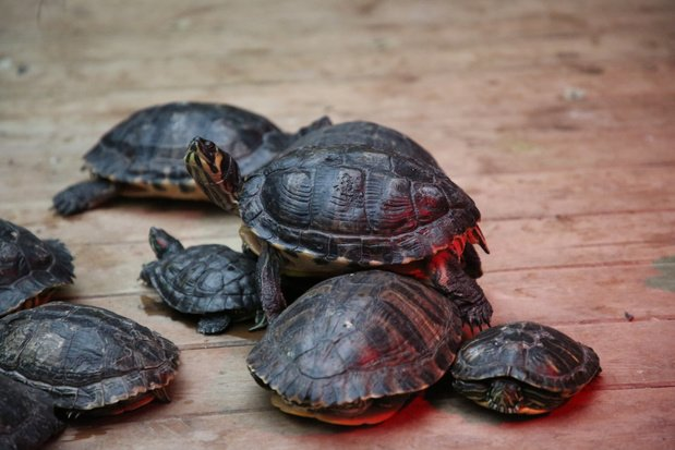 Pairi Daiza Foundation redde bijna 500 achtergelaten reptielen in 2020