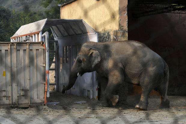 Eenzame olifant Kaavan verhuist van Bangladesh naar Cambodja