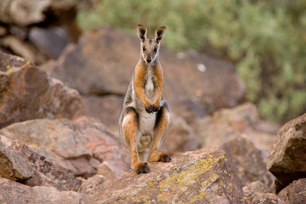 Populatie bedreigde zoogdieren in Australië sterk afgenomen, maar er is ook goed nieuws