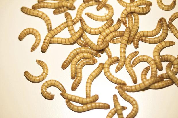 Gele meelworm officieel op Europees menu