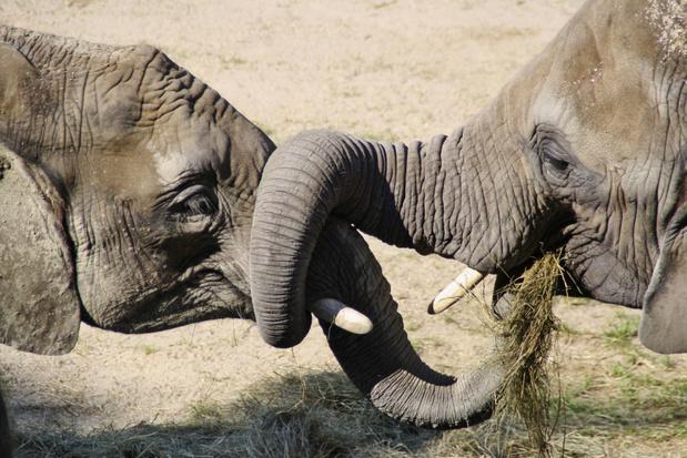 'Olifanten loslaten in Europa: een goed idee?'