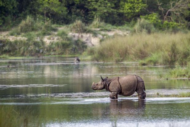 Aantal Indische neushoorns in Nepal groeit