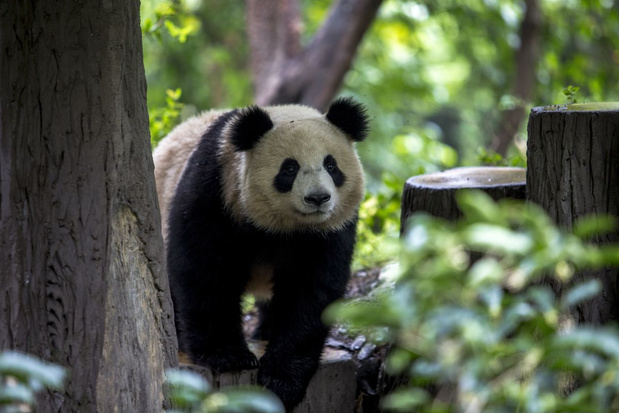 Reuzenpanda niet langer bedreigd, zegt China