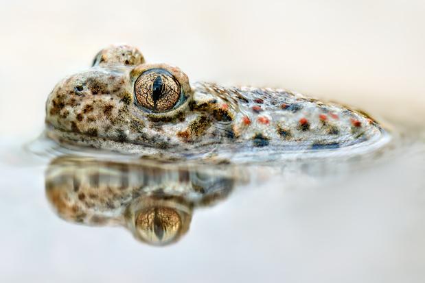 Schimmelziekte bedreigt amfibieën, zegt Natuurpunt