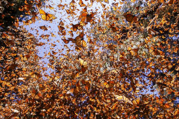 Video: als kolibri vermomde drone maakt prachtige opnames van miljoenen monarchvlinders