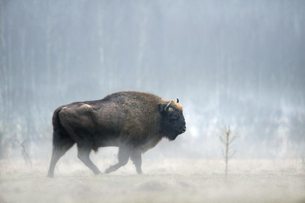 Europese bizon maakt comeback dankzij beschermingsmaatregelen