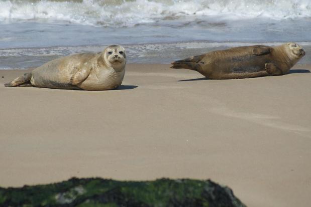 Twee zonnebadende zeehonden gespot op strand Oostende