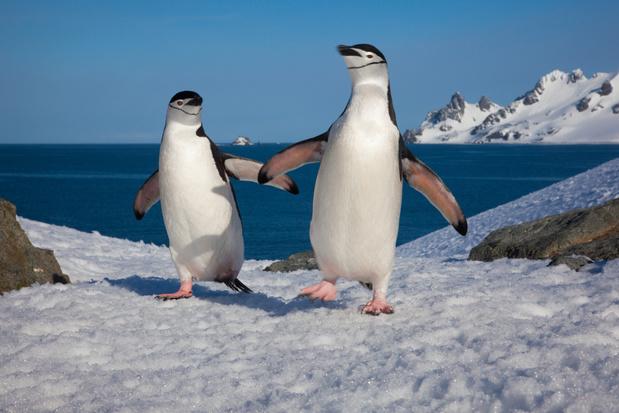 Aantal pinguïns op Antarctica schrikbarend gedaald, zegt Greenpeace