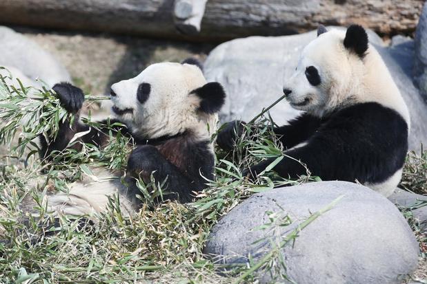 Canada stuurt twee reuzenpanda's terug naar China bij gebrek aan bamboe