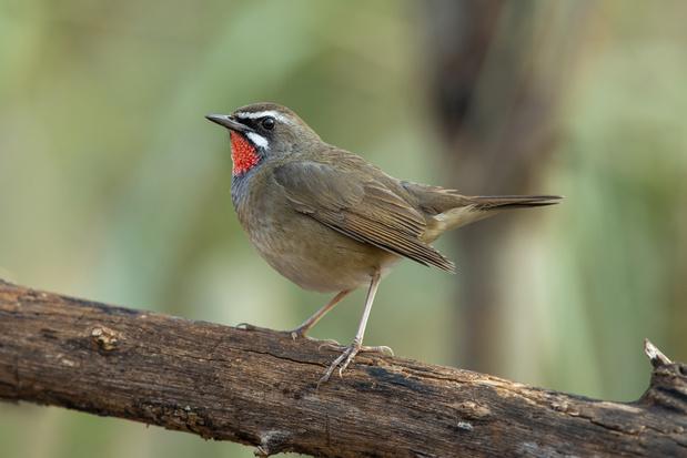 Op één dag twee unieke vogelsoorten waargenomen in het Zwin
