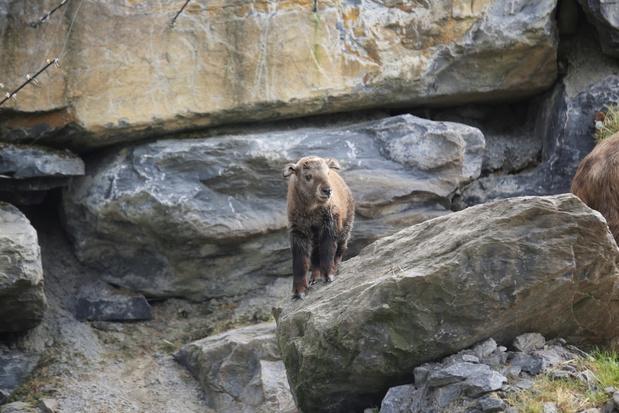 Twee met uitsterven bedreigde gouden takins geboren in Pairi Daiza