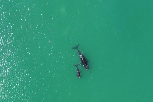Grote walvissen worden steeds kleiner, hoe komt dat?