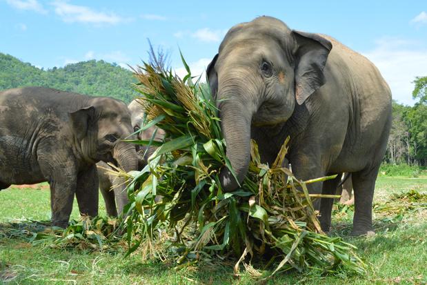 Werkloze Thaise olifanten wandelen over een afstand van 150 kilometer terug naar huis