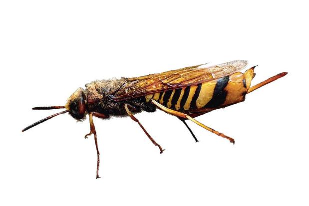 Beestenboel: de berkenreuzenhoutwesp is gigantisch, maar steekt gelukkig niet