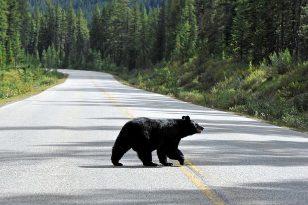Nu de toeristen weg moeten blijven uit Yosemite vieren de beren feest