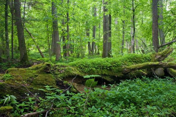 Polen gaat verder met houtkap in oerbos Bialowieza
