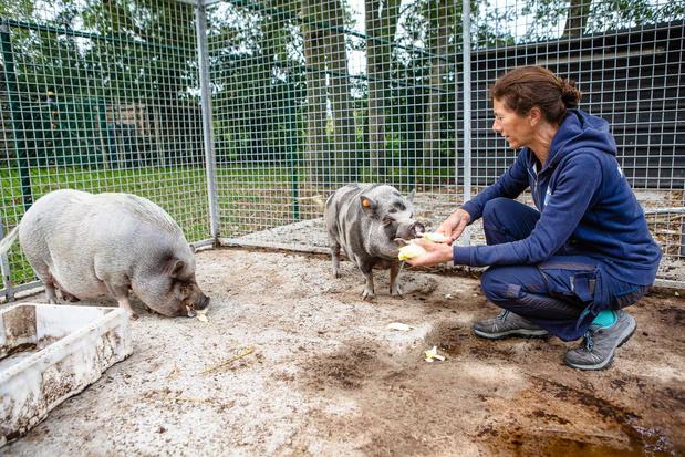 """Brugs dierenasiel Het Blauwe Kruis: """"Hangbuikvarkens zijn geen huwelijkscadeau"""""""