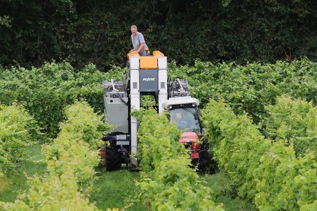 Wijnoogst op Monteberg start vroeger dan anders