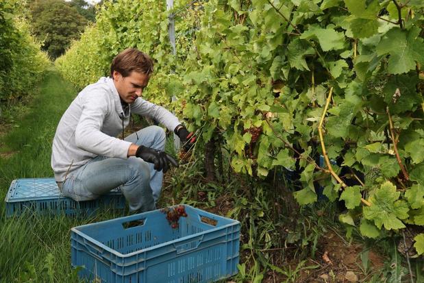 Vroegere druivenoogst door wespenplaag bij Entre-Deux-Monts