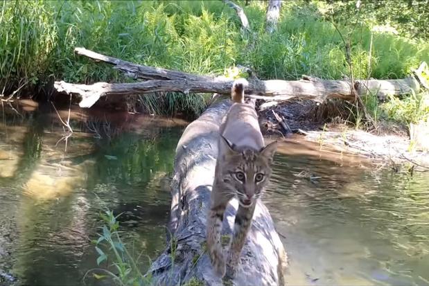 Video: een grappige stoet van dieren gebruikt een omgevallen boom als brug