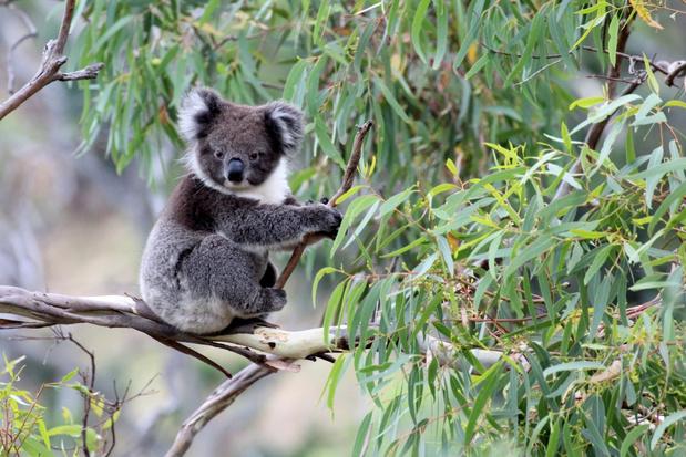 Aantal koala's in Australië zorgwekkend gedaald