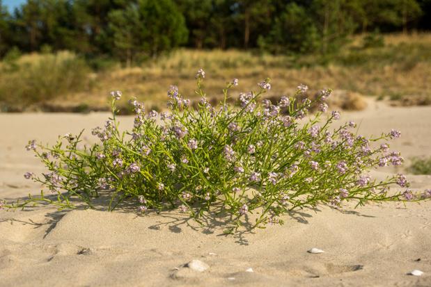 Lockdown leidt tot snelle opmars van planten op de stranden