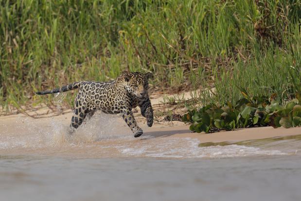 Jaguar heeft over dertig jaar wellicht geen voedsel meer