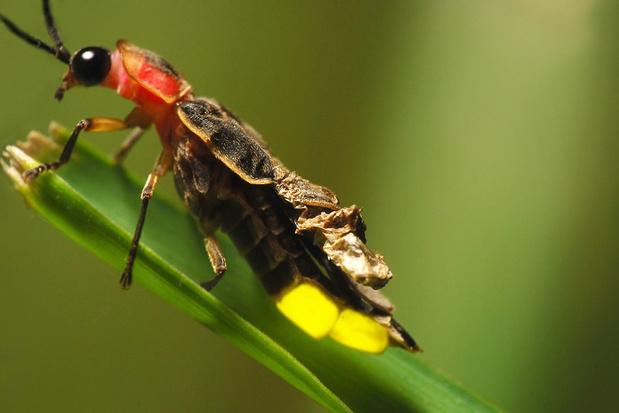Hoe nachtelijke verlichting de glimworm in de problemen brengt