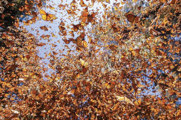 1 miljard dode vlinders