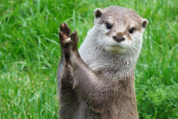 De otter maakt een comeback in Vlaanderen