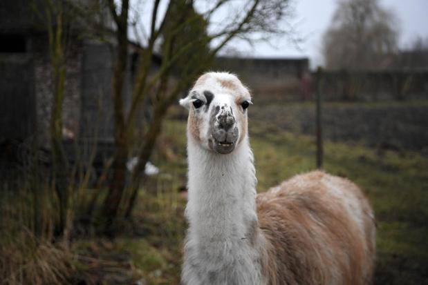 L'anticorps du VIB de Gand découvert sur un lama prêt pour les tests sur humains