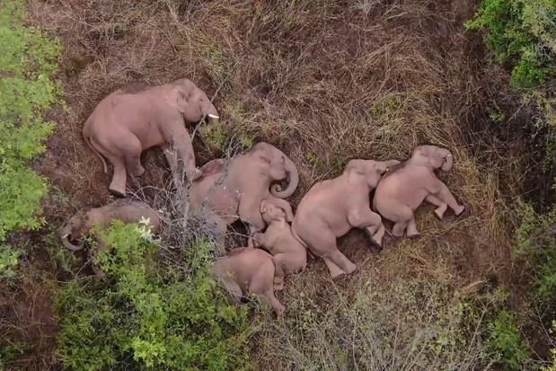 Kudde van 15 wilde olifanten wandelt 500 kilometer door China en bereikt miljoenenstad Kunming