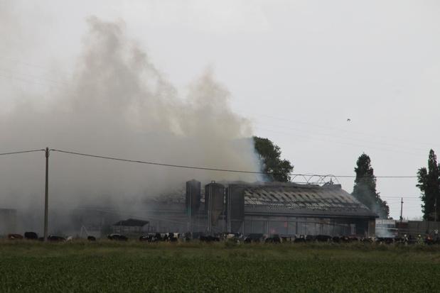 Brandende stapel stro zet stal in lichterlaaie, 50-tal koeien verbrand