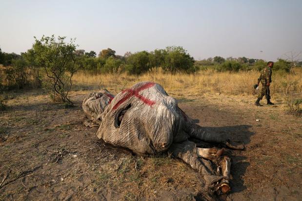 Afrikaanse olifanten krijgen status van 'bedreigd' en 'ernstig bedreigd'