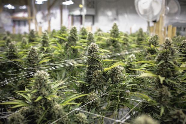 Cannabis : la consommation explose... Les politiques échouent