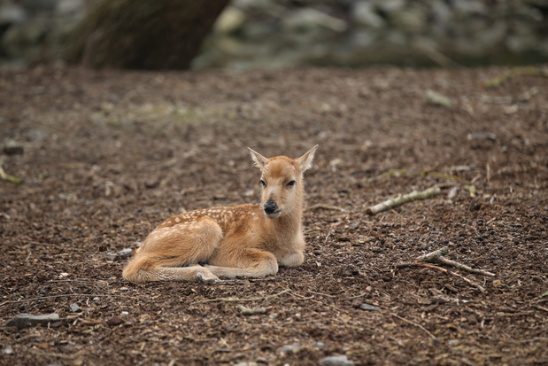 In het wild uitgestorven hertje geboren in Pairi Daiza