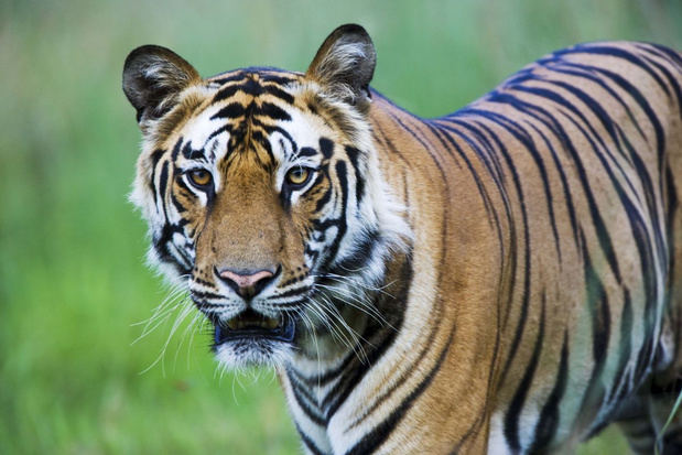 Stroper die 70 Bengaalse tijgers doodde na 20 jaar gearresteerd