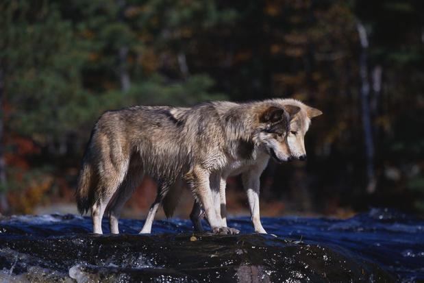 Wolf geeft boost aan biodiversiteit: hoe doet hij dat?